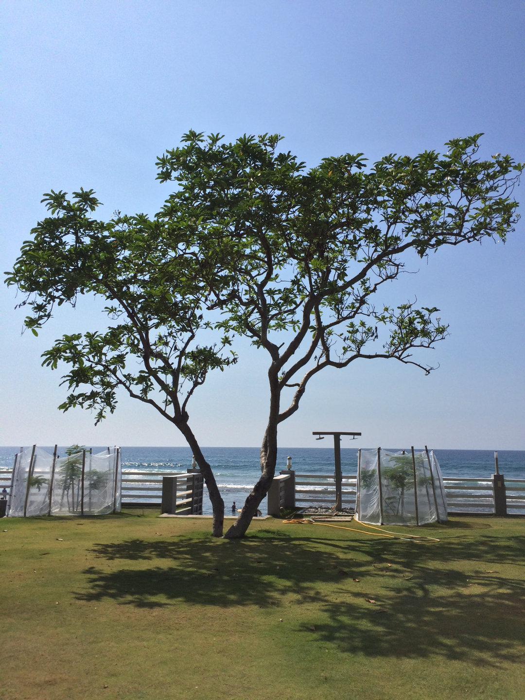 A tree on the grassy lawn of a resort by the sea, in San Juan, La Union, Philippines.
